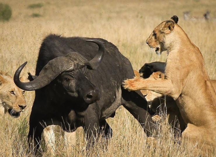 Впечатляющие фото: львы завалили буйвола в Кении
