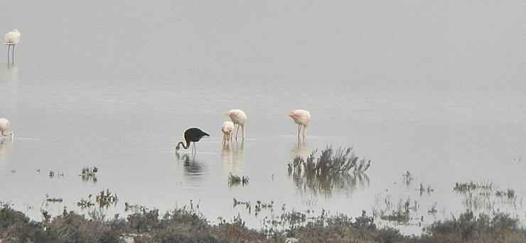 Бывает ли черный фламинго? (7 фото,видео)