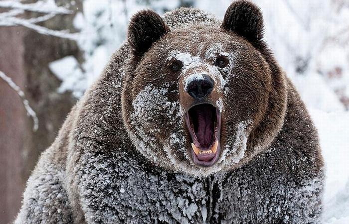 Почему медведи просыпаются зимой?