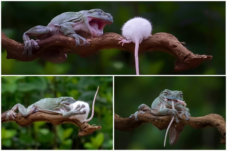 Жуткие кадры: лягушка проглотила мышь