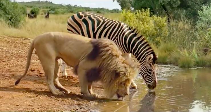 Правда ли что животные не нападают друг на друга на водопое